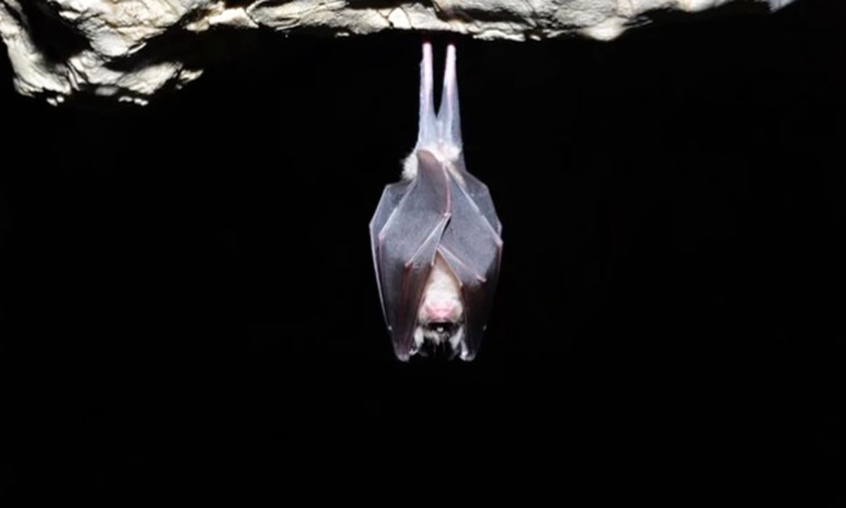 شناسایی یک ژن در خفاش که به ساخت واکسن کرونا کمک میکند